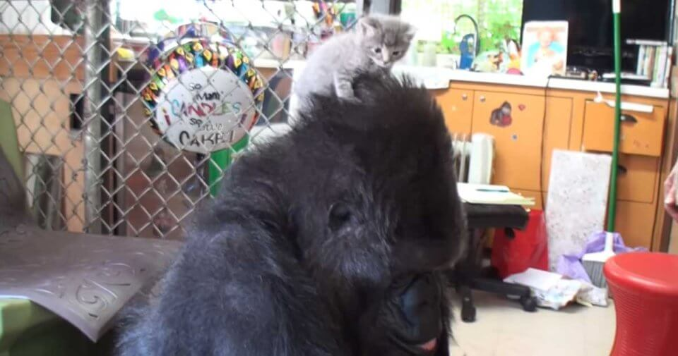 Gorilla Receives A Box Of Kittens For Her Birthday