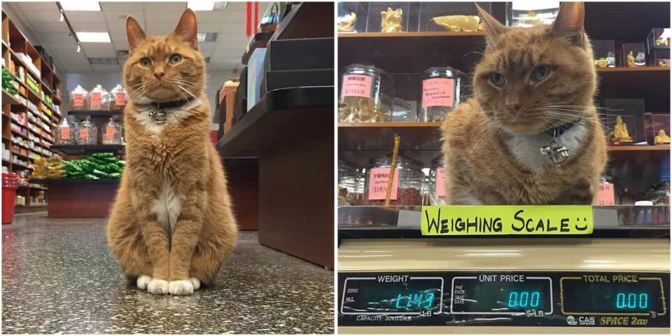Ginger Cat Helps Run a Store for 9 Years and Has Never Taken a Day Off