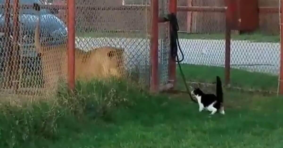 Little House Cat Challenges Big Lion, Proves That Size Doesn't Matter