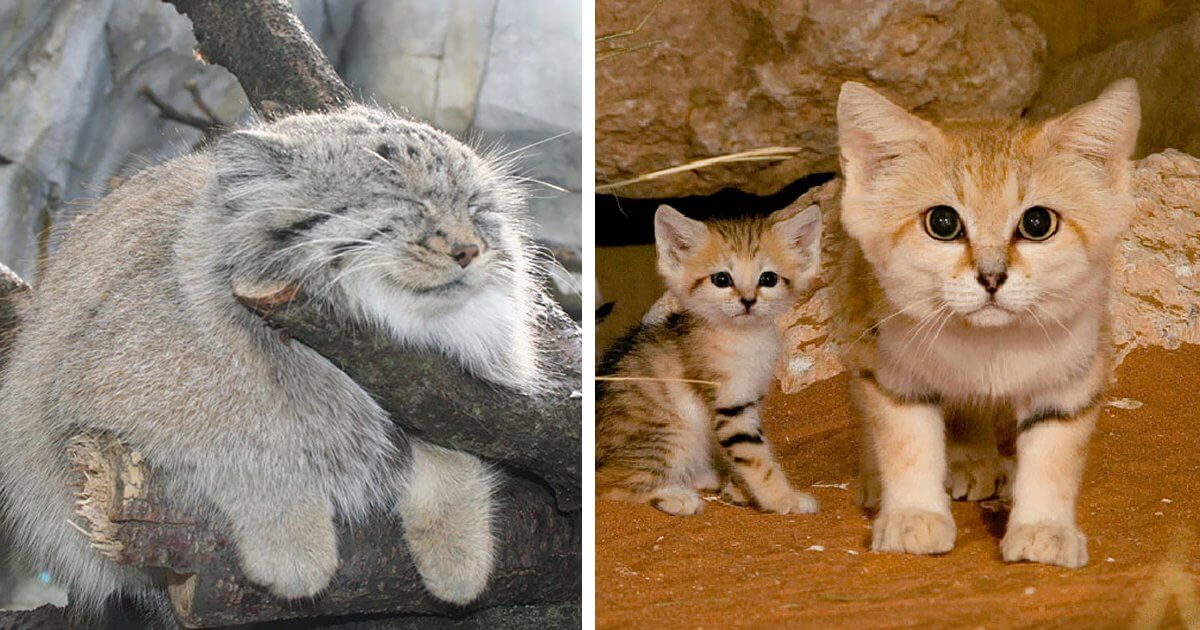 10 Rare Wild Cat Species You Probably Didn T Know Exist