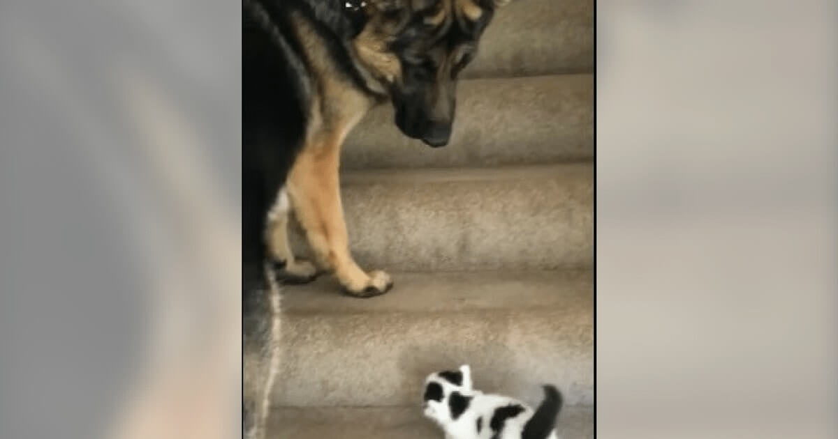 Dog Sees Tiny Kitten Having Trouble With The Stairs, He Goes To Help And It's Beyond Adorable