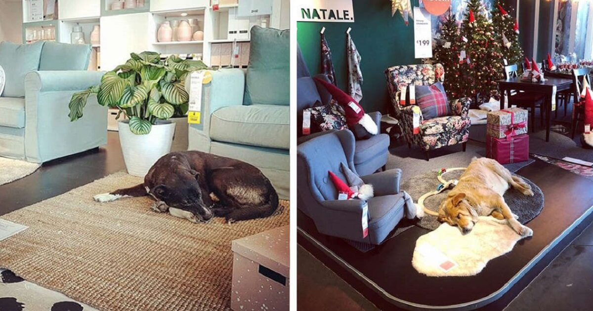 Nice Ikea Store In Italy Opens Its Door To Protect Stray Dog In