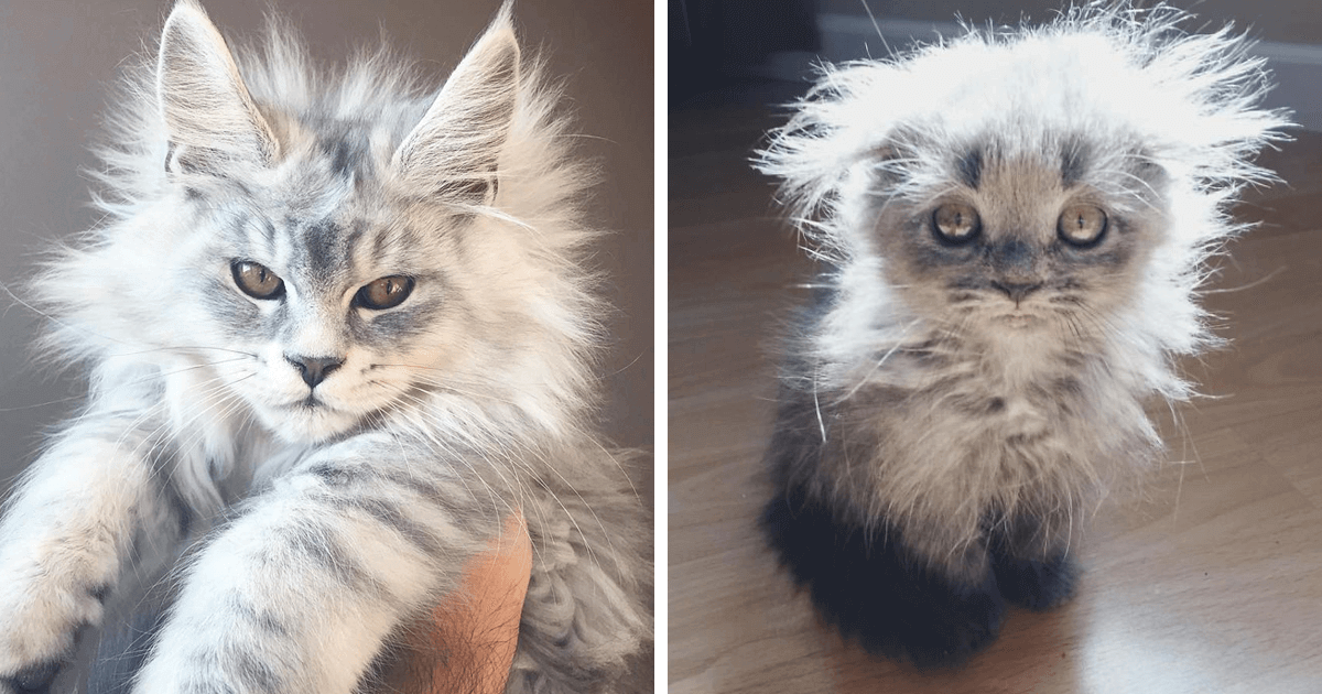 10 Of The Cutest Maine Coon Kittens That Are Actually