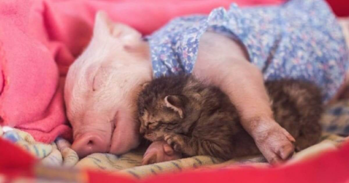 Orphaned Kitten Becomes Best Friend With Rescue Piglet And It's Totally Adorable