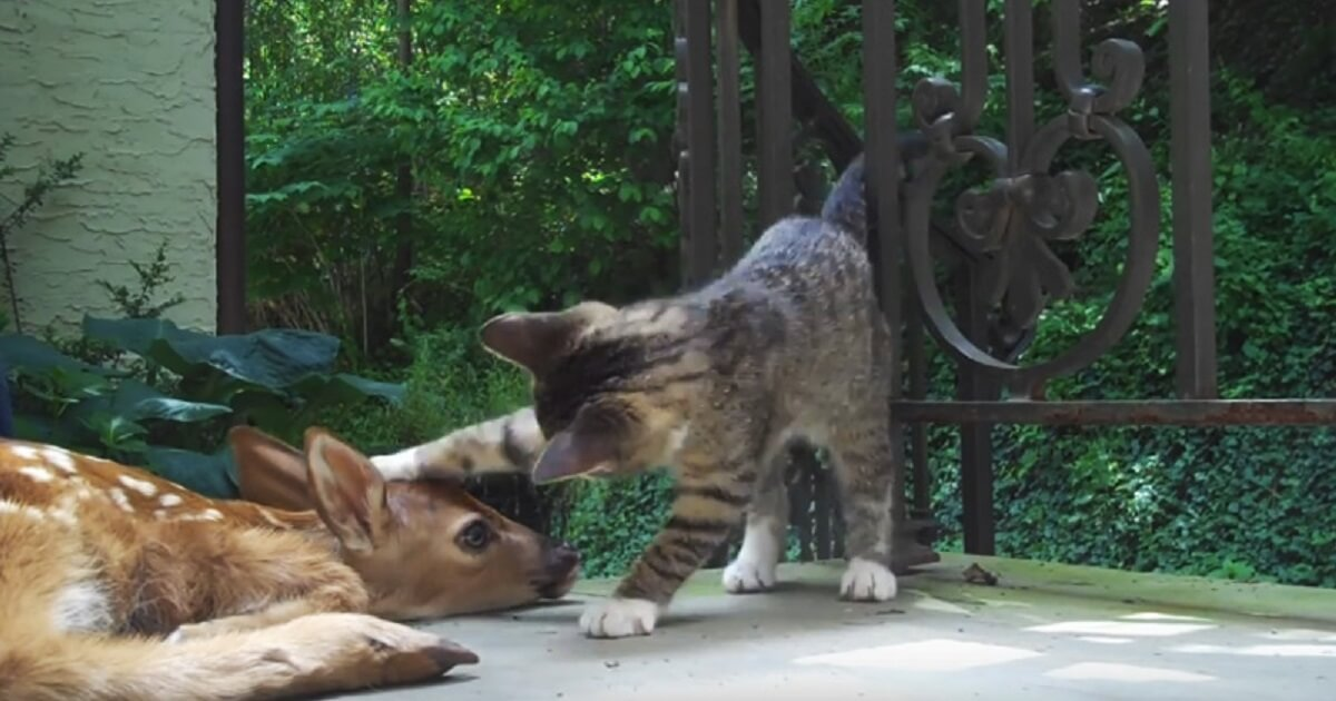 Kitten Can't Contain Her Excitement When She Sees A Baby Deer At The Front Door