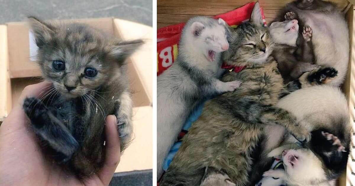 Rescue Kitten Adopted By Five Ferrets Thinks She Is A Ferret Too
