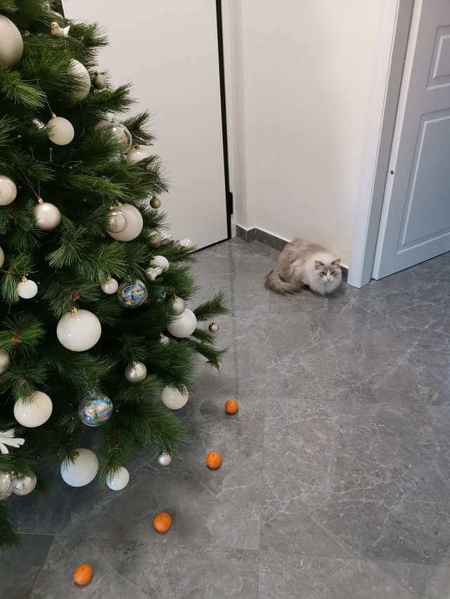 Cat Doesn't Dare To Destroy Christmas Tree Because He Is Afraid Of Tangerines – Paws Planet ...