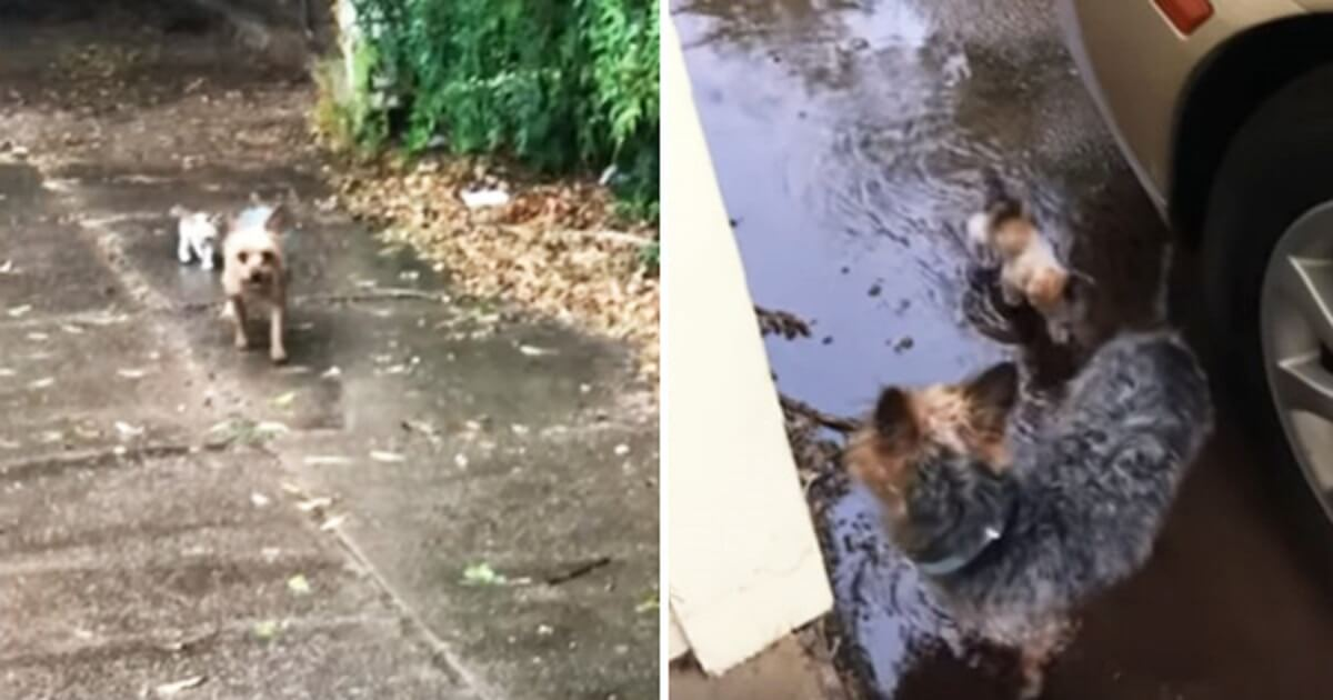 Sweet Dog Saves Tiny Abandoned Kitten And Brings Her Home In The Pouring Rain