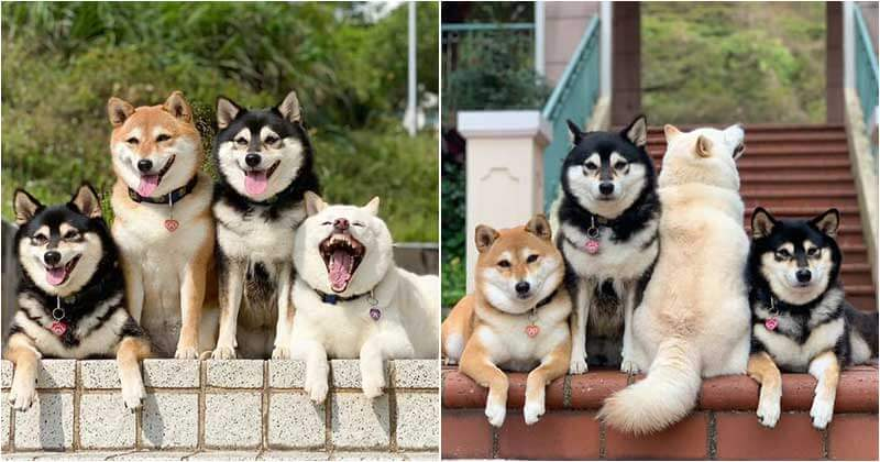 we-all-have-this-friend-shiba-inu-goes-viral-for-constantly-ruining-group-pics